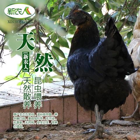 森林放养五黑鸡